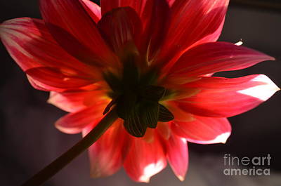 Photograph - The Beauty Of Dahlias by Paige Hval