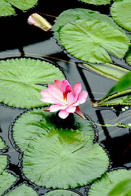 The Beauty Of Water Lily Art Print