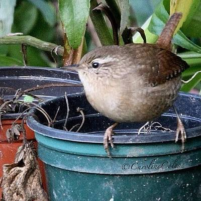 Ornithology Photograph - The Best Jenny Wren So Far - Fast by Caroline Coles