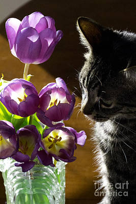 Photograph - The Black And White Tabby With Tulips Take 2 by Donna L Munro