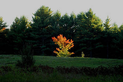 Photograph - The Blazing Tree by Larry Landolfi