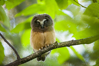 Northern Saw-whet Owl Photograph - The Blink Of An Eye by Tim Grams