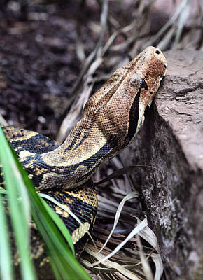 Boa Constrictor Photograph - The Boa by JC Findley