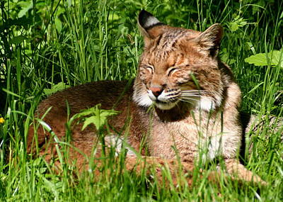 Print featuring the photograph The Bobcat's Afternoon Nap by Laurel Talabere