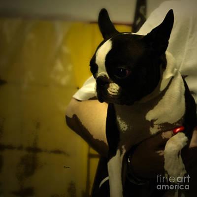 Bull Terrier Digital Art - The Boston Bull Terrier  by Steven Digman