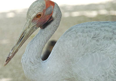 Photograph - The Brolga by Jocelyn Kahawai