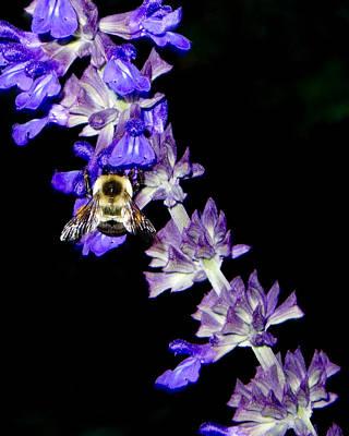 Photograph - The Busy Bee by Cornelis Verwaal