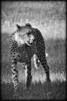Photograph - The Cheetah  by Saija  Lehtonen