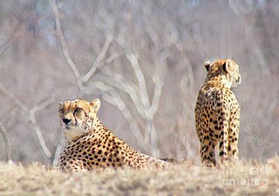 The Cheetahs Rest Art Print by Carolyn Fox