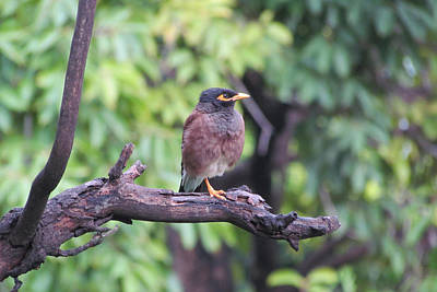 Common Myna Photograph - The Common Myna by Taimur Ibrahim