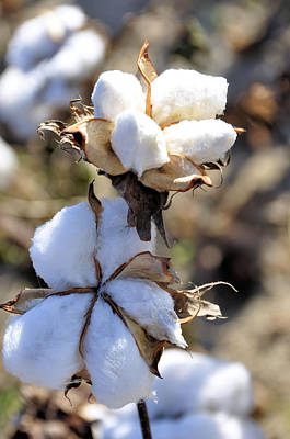 Photograph - The Cotton Is Ready by Jan Amiss Photography