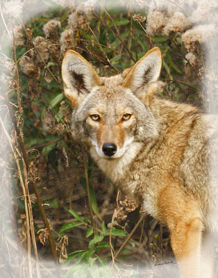 Photograph - The Coyote 2 by Ernie Echols