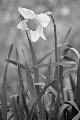 Photograph - The Daffodil In Black-and-white by JD Grimes