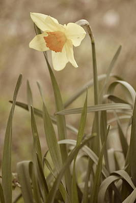 Photograph - The Daffodil In Partial Sepia by JD Grimes