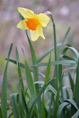 Photograph - The Daffodil by JD Grimes