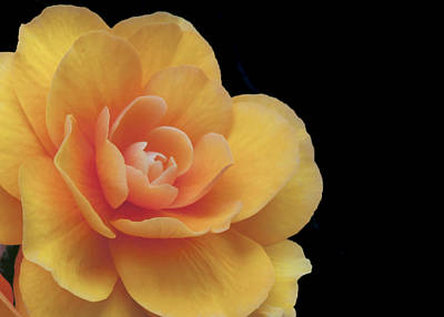 Art Print featuring the photograph The Dahlia by MaryJane Armstrong