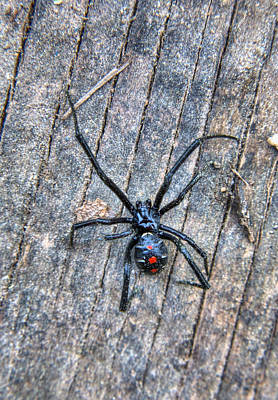 Black Widow Spider Photograph - The Dangerous Adolescent  by JC Findley
