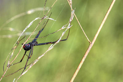 Black Widow Spider Photograph - The Dangerous Homemaker by JC Findley