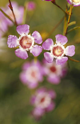 The Delicate Pink Petals Print by Jason Edwards