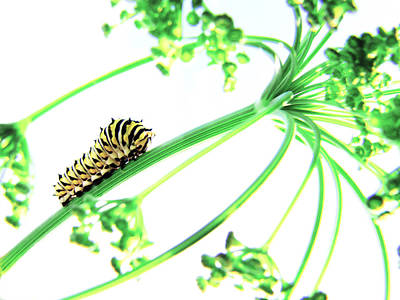 Swallowtail Photograph - The Dill Express by Amy Tyler