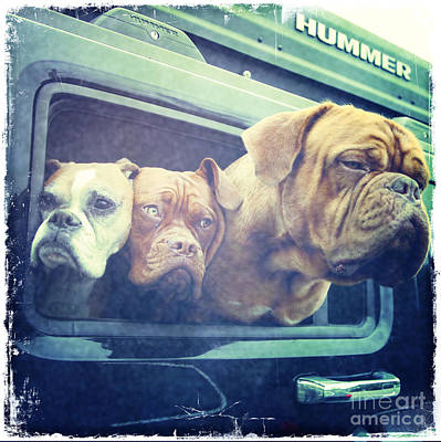 White Boxer Dog Photograph - The Dog Taxi Is A Hummer by Nina Prommer