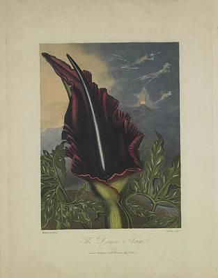 The Dragon Arum Art Print by Robert John Thornton
