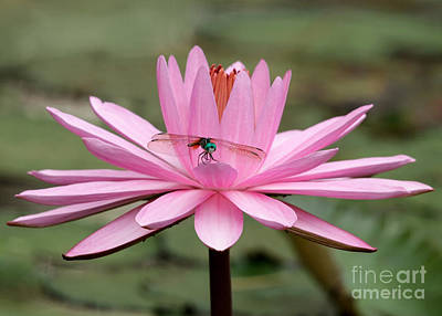 Photograph - The Dragonfly And The Pink Water Lily by Sabrina L Ryan