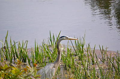 Photograph - The Eye Of The Heron by Mary McAvoy
