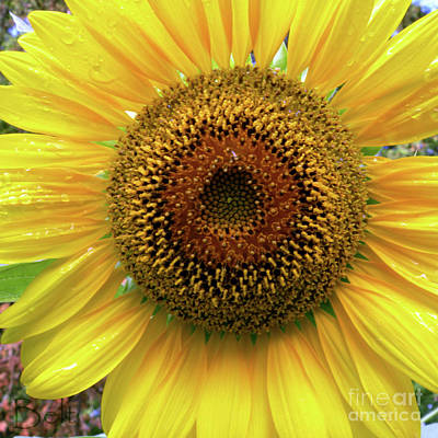 The Eye Of The Sunflower Art Print by Christine Belt