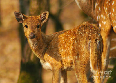 The Fawn Art Print by Paul Topp