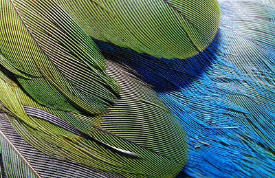 The Feathers Of A Red-winged Parrot Art Print by Jason Edwards