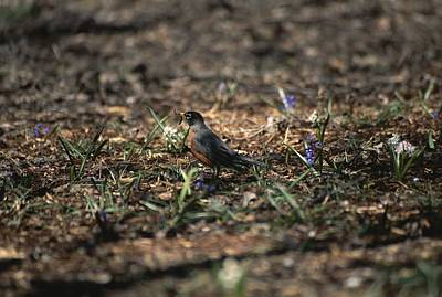 Bird And Worm Photograph - The First Robin Of Spring With A Worm by Stephen St. John