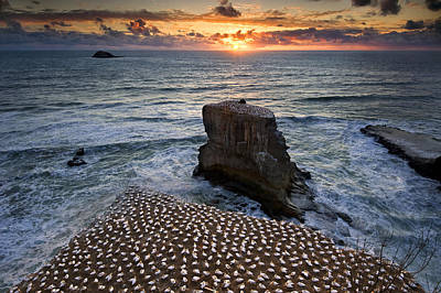 The Gannet Colony Art Print by Ng Hock How