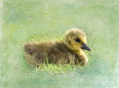 Goose Digital Art - The Gosling by Betty LaRue
