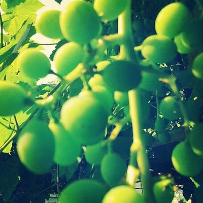 Grapes Photograph - The Grapes Are Getting Big. #grapes by Bloody Muffin
