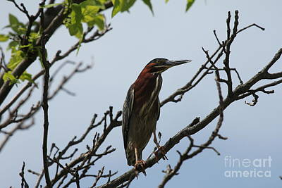 Photograph - The Green Heron by Scenesational Photos