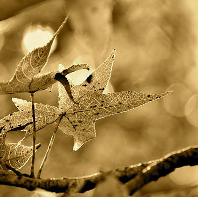 Photograph - The Gum Leaf by JD Grimes
