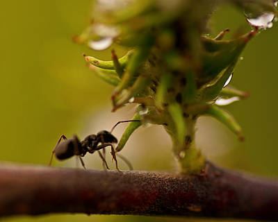 Ant Wall Art - Photograph - The Harvester by Susan Capuano