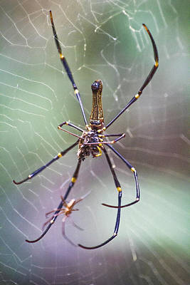 Golden Orb Photograph - The Hunter And It's Prey by Douglas Barnard