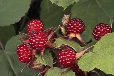 The Invasive Wine Berry And Shield Bugs Art Print
