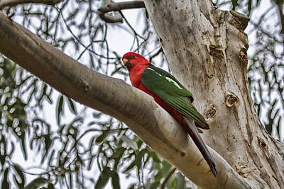 King Parrot Photograph - The King by Douglas Barnard