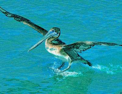 Brown Pelican Painting - The Landing by David Lee Thompson