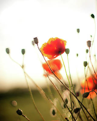 Photograph - The Last Poppies Of Summer 1 by Max Blinkhorn