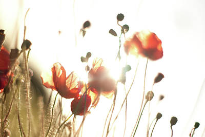 The Last Poppies Of Summer 3 Art Print