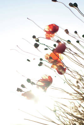 Photograph - The Last Poppies Of Summer 4 by Max Blinkhorn
