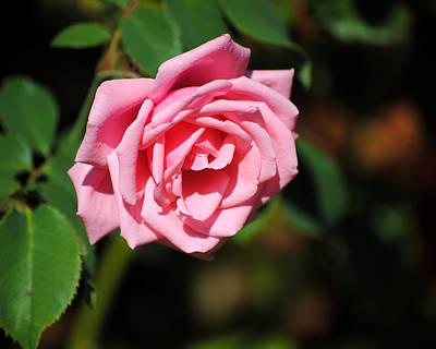 Photograph - The Last Rose by Jai Johnson