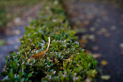 Photograph - The Leaf On The Hedge by Andreas Levi
