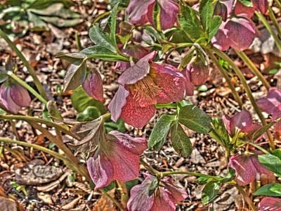 The Lenten Rose Art Print by Joshua House