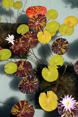 The Lily Pond Art Print by James Mancini Heath