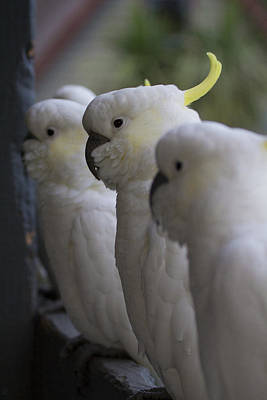 Cockatoo Photograph - The Line-up by Douglas Barnard